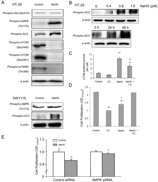 Involvement of AMPK/mTOR pathway.(A) Treating colon epithelial cells with NaHS (1 mmol/L; 24 h) resulted in hyperphosphorylation of AMPK and hypophosphorylation of mTOR and p70 S6K. NaHS (1 mmol/L) also increased phosphorylation of acetyl-CoA-carboxylase (ACC) but did not affect Akt phosphorylation at Ser473. (B) NaHS dose- and time-dependently enhanced ACC phosphorylation in HT-29. (C) The AMPK inhibitor compound c (CC) significantly reduced the number of LC3B+ autophagic vacuoles in H2S-treated cells. HT-29 cells were treated with compound C (20 mmol/L) for 8 h followed by 1.0 mmol/L NaHS treatment for another 48 h. (D) Compound C (CC) reversed the inhibitory effect of H2S on HT-29 cell proliferation. (E) Knockdown of AMPK abolished the inhibitory effect of NaHS (1 mmol/L) on cell proliferation in HCT116. **P<0.01, significantly different from respective control group. † P<0.05, significantly different from the NaHS group.