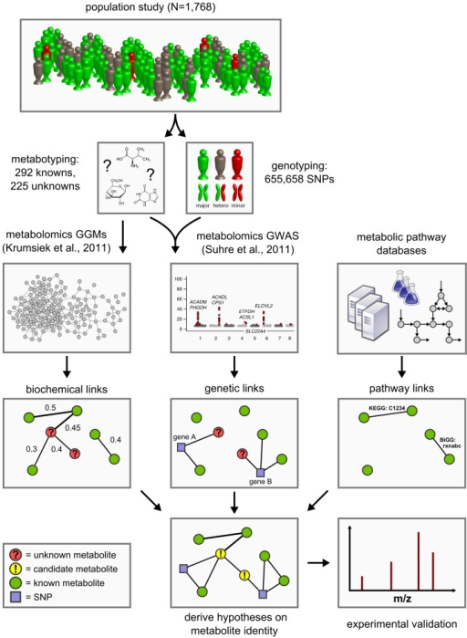 Data integration workflow for the systematic classification of unknown metabolites.We combine high-throughput metabolomics and genotyping data in Gaussian graphical models (GGMs) [21] and in genome-wide association studies (GWAS) [5] in order to produce testable predictions of the unknown metabolites' identities. These hypotheses are then subject to experimental verification by mass-spectrometry. Six such cases have been fully worked through and are presented in Table 3.