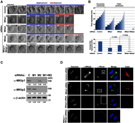 MKlp2 promotes and maintains efficient ingression of the cleavage furrow.(A) Synchronized HeLa cells transfected with the indicated siRNAs were subjected to time-lapse live-cell imaging. Arrows indicate the ingressed cleavage furrow. (B) The cytokinesis progression of cells (n>40) that were selected at random and the time they spent in ingression before regression is plotted (top graph). All HeLa cells depleted of MKlp1 or MKlp2 formed a cleavage furrow and ingressed followed by furrow regression and cytokinesis failure, while none of the control cells showed furrow regression after ingression. The average duration of the furrow in ingression is based on three independent experiments (total n>100 per condition, +/− standard deviation) (bottom graph). To determine the statistical significance of the duration of the furrow in ingression Student's t-test was performed. P values are indicated. (C) Immunoblot analysis of total cell lysates from panel A. C: control, M1: MKlp1, M2: MKlp2. Relative band intensities to control siRNA are shown in the bottom of each panel. (D) Immunofluorescence analysis using asynchronously grown HeLa cells was performed at 30 h after transfection with the indicated siRNAs. Cells in anaphase are shown. Images were acquired using 3D-SIM. Insets represent the boxed areas. White bars represent 5 µm.