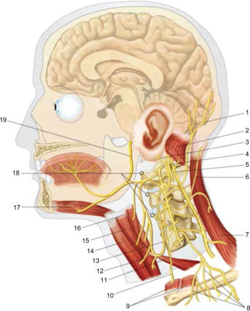 The cervico-cranial area: 1: lesser occipital nerve or | Open-i