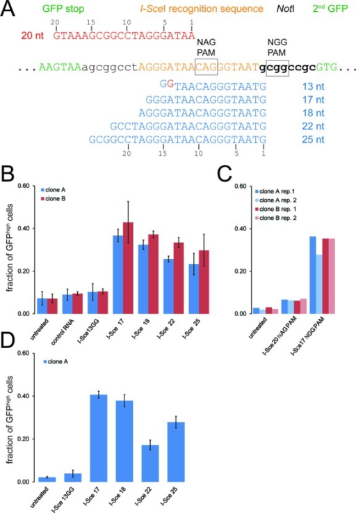Quantitative assessment of cas9-mediated cleavage in living cells using various CRISPR RNA guides. (A) Sequence detail of the I-SceI recognition site region in our reporter construct. The length variant CRISPR RNAs with an NGG trinucleotide protospacer-associated motif (PAM) are shown in blue below the reporter sequence and the CRISPR RNA for testing cleavage efficiency at the 5'-NAG-3' trinucleotide PAM is shown in red above the reporter sequence. (B) Quantitative analysis of CRISPR cleavage activity according to targeting sequence length using our HR reporter system. The proportion of GFPhigh cells was determined via two-dimensional analysis of fluorescence-activated cell sorting data (side scatter vs. GFP fluorescence) as this enables more reliable separation of the two populations. Two independent cell clones expressing myc-cas9 and the double-GFP reporter were analyzed; the data are presented as the mean ±SD of three independent biological replicates. (C) Quantitative analysis of CRISPR cleavage activity with an NAG trinucleotide PAM. The experiment was performed essentially as described in B, the I-Sce17 NGG CRISPR serves as comparison. Cleavage activity towards an NAG PAM is detectable but occurs with clearly lower efficiency. Two cell clones were tested in two independent biological replicates each. (D) Extending the CRISPR RNA at its 3′-end does not impair cleavage activity. The experiment was performed and analyzed as in B but a CRISPR RNA with a 3′-extension harboring 18 nt of sequence homology downstream of the CRISPR target site was employed. This extension did not impair cleavage activity (compare with B), but also did not rescue the apparent defect of the I-Sce13GG RNA construct either.