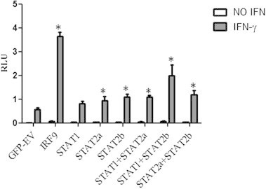 IRF9, STAT2a and STAT2b stimulate GAS promoter activity upon IFNγ stimulation. CHSE-214 cells transiently transfected with STAT1a, STAT2a, STAT2b, RF9 alone or in combination with each other and GFP-EV (empty vector) was used as control. Transfectants were left non-stimulated or were stimulated with 500 ng/ml of IFNγ 24 h prior to reporter gene assay analysis. Firefly luciferase activity was normalized with Renilla luciferase levels (n = 5) and the data are presented as relative luciferase units (RLU). The results are representative of two independent experiments. ∗ Represents values where difference compared to EV control is statistically significant.