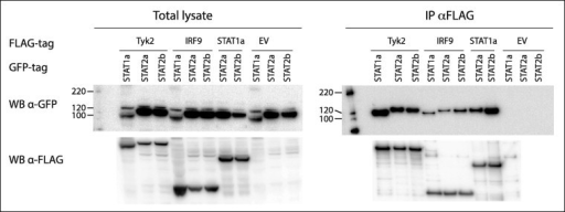STAT1a interacts with Tyk2 and IRF9, and STAT2a and STAT2b interact with Tyk2, IRF9 and STAT1a. HEK 293 cells co-transfected with plasmids expressing TYK2, IRF9 or STAT1a with FLAG-tag in combination with plasmids expressing either STAT2a or STAT2b with GFP-tag. The study also included plasmids expressing FLAG-tagged Tyk2 or IRF9 in combination with STAT1a with GFP-tag. The IP was performed with anti-FLAG M2 affinity gel and interacting partners were detected by Western blot using antibodies against GFP, membrane was stripped and treated with anti-FLAG antibody. An empty pDEST-3xFlag vector was included as control. All the proteins were shown to be expressed in total lysate.