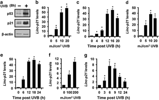 LincRNA-p21 (Linc-p21) transcripts are highly inducible by UVB in mouse and human keratinocytes in culture and in mouse skin. (a) Balb/MK2 mouse keratinocytes were exposed to UVB, collected 8 h later and immunoblot analysis conducted. (b) Balb/MK2 mouse keratinocytes were exposed to the indicated doses of UVB, collected 16 h later and lincRNA-p21 transcript levels measured. (c) Balb/MK2 cells were exposed to 10 mJ/cm2 UVB and lincRNA-p21 transcript levels measured at the indicated times. (d) NHEK cells were exposed to the indicated doses of UVB, collected 16 h later and lincRNA-p21 transcripts measured. (e) NHEK cells were exposed to 10 mJ/cm2 UVB and lincRNA-p21 transcripts measured at the indicated times. (f) SKH-1 mice (three mice per time point) were exposed to 100 or 200 mJ/cm2 UVB, epidermis was collected at 9 h and lincRNA-p21 levels measured. (g) SKH-1 mice (three mice per group) were treated with 100 mJ/cm2 and lincRNA-p21 transcripts measured at the indicated times. LincRNA-p21 levels were measured by TaqMan real-time PCR (Ct value at peak post UVB=26–29 cycles using 25 ng template for all experiments). LincRNA-p21 was normalized to β-actin. Data are expressed as the mean ±S.D. N≥3, *P <0.05 significantly different compared with time 0 using student t-test