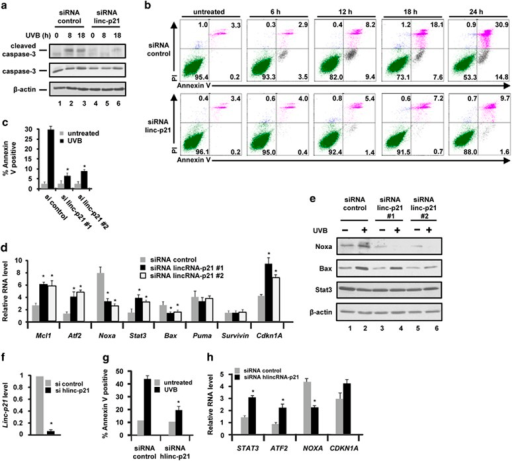 LincRNA-p21 (linc-p21) regulates apoptosis in UVB-treated keratinocytes. (a) Control and lincRNA-p21 #1 knockdown Balb/MK2 cells were exposed to 10 mJ/cm2 UVB (48 h post transfection) and collected at 0, 8 and 18 h after UVB exposure and immunoblot analysis for caspase 3 conducted; results shown are representative of duplicate experiments. (b) Control and lincRNA-p21 #1 knockdown Balb/MK2 cells were exposed to 10 mJ/cm2 UVB (48 h post transfection) and collected at 0, 6, 12, 18 and 24 h after UVB. Cells were stained with annexin-V and PI and analyzed by FACS. Similar results were obtained in three independent experiments. (c) Control and lincRNA-p21 #1 and #2 knockdown Balb/MK2 cells were exposed to 10 mJ/cm2 UVB (48 h post transfection) and 24 h after UVB. Cells were stained with annexin-V and PI and analyzed by FACS. Similar results were obtained in three independent experiments. (d) Control and lincRNA-p21 #1 and #2 knockdown Balb/MK2 cells were exposed to 10 mJ/cm2 and collected at 18 h post UVB and candidate gene expression examined by Taqman RT-PCR. (e) Control and lincRNA-p21 #1 and #2 knockdown Balb/MK2 cells were exposed to 10 mJ/cm2 and collected at 18 h post UVB and immunoblot analysis conducted. (f) NHEK cells were transfected with siRNA to human lincRNA-p21 or control siRNA, 48 h later exposed to 10 mJ/cm2 UVB, collected 18 h later and lincRNA-p21 levels measured. (g) Control and lincRNA-p21 knockdown NHEK cells were exposed to 10 mJ/cm2 UVB (48 h post transfection) and collected at 0 and 18 h after UVB. Cells were stained with annexin-V and PI and analyzed by FACS. Similar results were obtained in three independent experiments. (h) Control and lincRNA-p21 knockdown NHEK cells were exposed to 10 mJ/cm2 and collected at 18 h post UVB, and candidate gene expression examined. Data are expressed in c, d, f, g and h as the mean ±S.D. N ≥3, *P<0.05 significantly different compared with siRNA control as determined by the student t-test