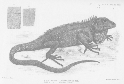 Holotype of Enyalioidesoshaughnessyi (MRHN [Museum Royal d'Histoire Naturelle, Belgium] 2009, adult male). Illustration taken from original description (Boulenger 1881).