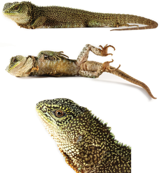 Holotype of Enyalioidesanisolepis (QCAZ 12537, adult male, SVL = 130 mm). Top: dorsolateral view; middle: ventral view; bottom: lateral view of head. Photographs by Omar Torres-Carvajal.