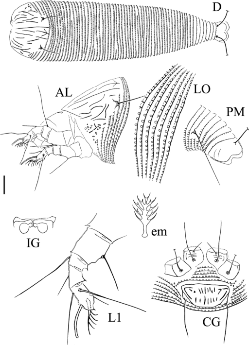 Schematic drawings of Paracolomerusgonglius sp. n.: AL Lateral view of anterior body region CG Female coxigenital region D Dorsal view em Empodium IG Internal female genitalia LO Lateral view of annuli L1 Leg I PM Lateral view of posterior opisthosoma. Scale bar: 15 µm (D); 10 µm (AL, CG, IG, PM); 7.5 µm (LO); 5 µm (L1); 2.5 µm (em).