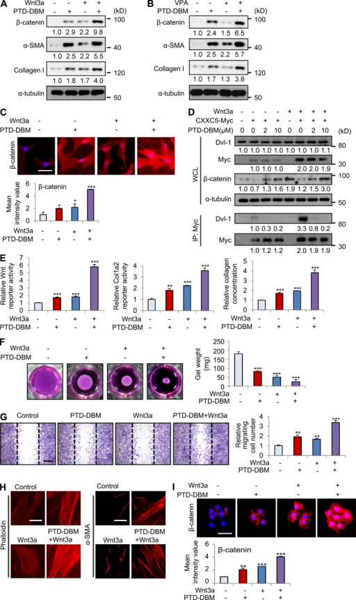 Combination treatment with PTD-DBM and Wnt3a synergistically induces collagen production in human dermal fibroblasts. (A) Human dermal fibroblasts (n = 2–3 cells) were treated with 2 µM PTD-DBM and/or 50 ng/ml Wnt3a for 2 d. (B) Human dermal fibroblasts were treated with 2 µM PTD-DBM and/or 1 mM VPA for 2 d. (A and B) WCLs were subjected to Western blotting to detect β-catenin, α-SMA, collagen I, and α-tubulin (n = 2 independent experiments). Relative densitometric ratios of each protein to α-tubulin are shown. (C) Representative images of ICC staining of β-catenin (top) in human dermal fibroblasts, which were treated with 2 µM PTD-DBM and/or 50 ng/ml Wnt3a, and mean intensity value (bottom) are shown (*, P < 0.005; ***, P < 0.0005; n = 3 independent experiments). (D) Human dermal fibroblasts were treated with 2 µM PTD-DBM and/or 50 ng/ml Wnt3a after transfection with pcDNA3.1 or pcDNA3.1-CXXC5-Myc. The cell lysates were used for immunoprecipitation with anti-Myc antibody (n = 2 independent experiments). Relative densitometry values are shown below the blots. (E) Wnt reporter assay, Col1a2 reporter assay, and Sircol collagen assay in human dermal fibroblasts treated with PTD-DBM and/or Wnt3a were measured (**, P < 0.005; ***, P < 0.0005; n = 3 independent experiments). (F) A collagen gel contraction assay in human dermal fibroblasts treated with PTD-DBM and/or Wnt3a was performed, and representative images are shown (left). Gel weight quantitation is also shown (right; ***, P < 0.0005; n = 3 independent experiments). (G) An in vitro wound healing assay in human dermal fibroblasts treated with PTD-DBM and/or Wnt3a was performed. Representative images (left) and migrating cell numbers (right) are shown (**, P < 0.005; ***, P < 0.0005; n = 3 independent experiments). The widths of the initially scratched wounds are indicated with dashed lines. (H) ICC staining of human dermal fibroblasts treated with PTD-DBM and/or Wnt3a was performed to detect phalloidin (left) and α-SMA (right; n = 3 independent experiments). (I) Representative images of ICC staining of β-catenin (top) are shown in HaCaT keratinocytes, which were treated with 2 µM PTD-DBM and/or 50 ng/ml Wnt3a. Mean intensity values are shown below (**, P < 0.005; ***, P < 0.0005; n = 3 independent experiments). Bars: (C, H, and I) 50 µm; (G) 500 µm. Means ± SD.