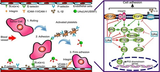A possible mechanism underlying the inhibitory effect of UA/US597 on cancer metastasis