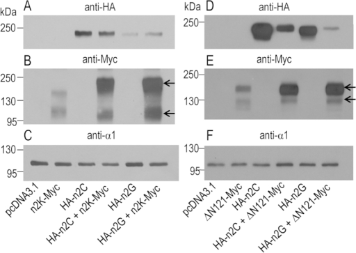 Biotinylation analysis of the effect of coexpressing the full-length NBCn2 on the surface abundance of Nt-truncated NBCn2 in neuro-2A cells.(A,D) Expression of full-length NBCn2 (n2C and n2G) with HA tagged at the Nt end. (B,E) Expression of Nt-truncated NBCn2 (n2K and ΔN121) with Myc tagged at the Ct end. (C,F) Expression of endogenous Na+-K+-ATPase probed with anti-α1 to verify equal loading in each lane. Surface proteins were prepared by biotinylation and separated on 10% SDS-PAGE for western blotting.