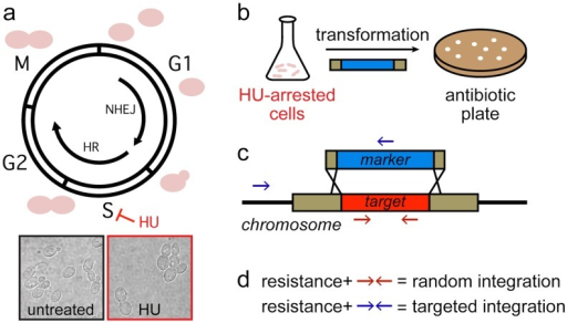 Method for increased gene targeting.Cells are grown in the presence of hydroxyurea to induce cell cycle arrest in S-phase with high HR activity (a). Y. lipolytica YB-392 cells untreated or arrested at the large-budded stage are shown. HU-arrested cells are transformed with an antibiotic resistance cassette bearing the marker flanked by short regions of homology to the promoter and terminator of the target gene (b). Homologous recombination between the cassette and genomic DNA leads to replacement of the target gene with the marker (c). Antibiotic-resistant colonies are screened by PCR to distinguish between random and targeted integration using primer sets specific to each integration outcome (d).