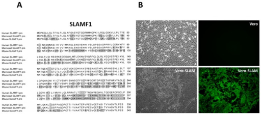 Wild type MeV can infect Vero cells that express human and marmoset SLAMF1 but not mouse SLAMF1. (A) Alignment of protein sequences of signaling lymphocyte activation molecule family member 1 (SLAMF1) from human (AAH12602.1), marmoset (XP_002760222), and mouse (AA17100.1) homologues. Shaded residues indicate amino acids that differ from the human sequence. Shaded residues indicate amino acids that differ from the human sequence. There is a high level of conservation between human and marmoset SLAMF1 sequences; (B) Vero-SLAMF1 cells can be infected with wild-type IC-323 strain of MeV that expresses the enhanced green fluorescent protein (eGFP) reporter gene. Cells were infected with virus at an m.o.i. of 5 for a period of 60 h. Syncytia were visible as early as 18 h.