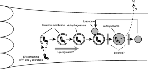 Aβ production in AVs. The membrane dynamics of autophagy and its proposed role in Aβ generation in the AD brain are depicted. A portion of cytoplasm is enclosed by the isolation membrane to form an autophagosome. The outer membrane of the autophagosome then fuses with a lysosome to degrade the inside materials. Organelles can be degraded by this pathway. After digestion is completed, autolysosomes are thought to become dense lysosomes. The origin of the isolation membrane is not known, but vesicles might be delivered from the ER. Thus, APP and the γ-secretase complex could be incorporated into the autophagosome membrane. Alternatively, ER and the Golgi apparatus containing APP and the γ-secretase complex may be engulfed by autophagosomes. In AD, some steps of autophagosome/autolysosome maturation are blocked, which may promote Aβ production.