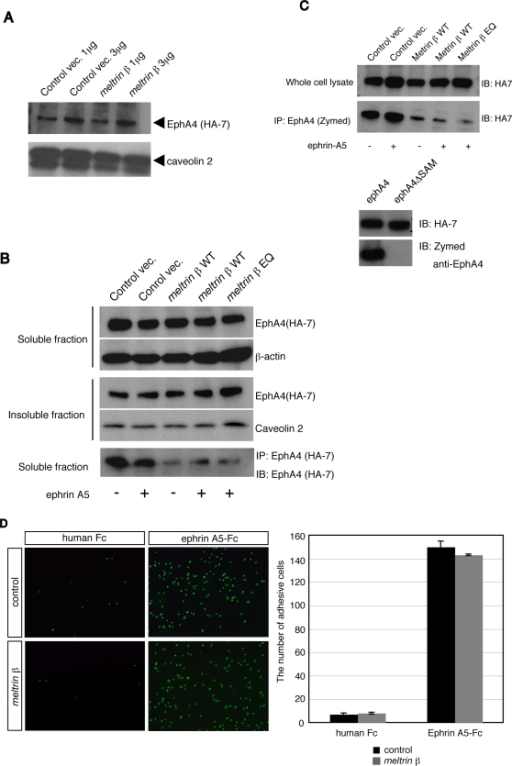 Meltrin β does not affect the expression of EphA4 on the cell surface nor the initial association between ephrin-A5 and EphA4, but decreases accessibility of antibodies that recognize the EphA4 C-terminus.(A) EphA4-HA transformant cells were transfected with Meltrin β expression plasmids (meltrin β) or with control vectors, and biotinylated proteins on the cell surface were precipitated with streptavidin beads. The proteins were separated by SDS-PAGE, and EphA4 was detected with an anti-HA antibody (HA-7). Caveolin 2 was used as an internal control. (B) NIH3T3 cells were transfected with EphA4-HA expression plasmids and the various plasmids listed at the top of the lanes and stimulated with ephrin-A5-Fc fusion proteins as indicated. The cell lysates were divided into a Triton-X100–solubilized fraction (soluble fraction) and Triton-X100–resistant raft microdomains (insoluble fraction). After SDS-PAGE separation, EphA4 was detected with HA-7. EphA4 proteins in the soluble fractions were also immunoprecipitated with HA-7 (the bottom panel) and detected with HA-7 after SDS-PAGE. The amount of EphA4 precipitated was reduced dramatically when the Meltrin β WT or EQ mutant was coexpressed with EphA4, regardless of stimulation with ephrin-A5. (C) (Upper Panel) NIH3T3 cells were transfected with EphA4-HA expression plasmids and the various plasmids listed at the top of the lanes and stimulated with ephrin-A5-Fc fusion proteins as indicated. EphA4 proteins in the soluble fractions (whole cell lysate) were immunoblotted with anti-HA antibody (HA-7) or immunoprecipitated with an anti-EphA4 antibody and detected with HA-7 after SDS-PAGE. Immunoprecipitation of EphA4 with anti-EphA4 was inefficient when the meltrin β WT or EQ mutant were coexpressed, regardless of the stimulation with ephrin-A5-Fc. (Lower Panel) An anti-EphA4 antibody from Zymed recognizes the SAM domain in the EphA4-C terminus. NIH3T3 cells were transfected with plasmids that express EphA4-HA or SAM domain–deleted EphA4-HA, and expressed proteins were detected either with HA-7 or with the anti-EphA4 antibody after SDS-PAGE of the cell lysates. (D) EphA4 transformants transfected with meltrin β or a control vector were seeded onto plastic dishes coated with a human Fc fragment or ephrin-A5-Fc. The binding activity of EphA4-expressing cells (detected with DAPI) on ephrin-A5-coated plates was not changed by coexpression of Meltrin β.