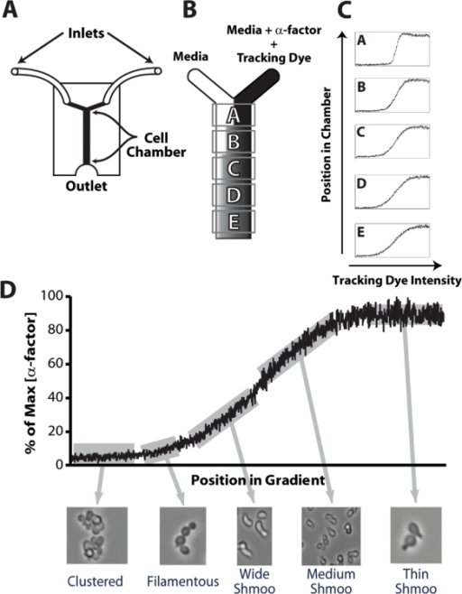 Microfluidics device generates α-factor gradients and response of yeast cells to gradient.(A) Schematic diagram of microfluidics Y-device. There were two inlets, a central channel containing the cells, and an outlet. (B) Media alone at the left inlet and media containing α-factor and Dextran-3000-TRITC (tracking dye) at the right inlet were infused resulting in a gradient across the width of the chamber as the chemicals diffused. Five positions down the length of the central channel, denoted A to E, were visualized. (C) The gradient slope varied depending on the position along the length. The gradient became shallower further down the chamber as the tracking dye and α-factor had more time to diffuse. (D) A variety of cell morphologies were observed depending on the amount of α-factor the cells were exposed to. We observed bar1Δ cells in position E in a 0–100 nM gradient.