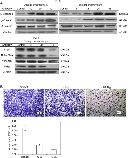Inhibition of cell invasion by γ-T3 treatment. (A) 24-h dose-dependent and IC50 time-dependent γ-T3 treatment induces the expression of epithelial markers (E-cadherin, γ-catenin), but suppresses the expression of mesenchymal markers (vimentin, twist and α-SMA) and E-cadherin's repressor (snail). (B) The invasive androgen-independent PCa cells (PC-3) treated with the indicated dosage of γ-T3 was harvested and then plated into the Matrigel-coated (0.5 mg ml−1) insert. Cells invaded through the membrane were stained with crystal violet and the images were photographed under a microscope. After being lysed with extraction buffer, intensity at 595 nm was measured.