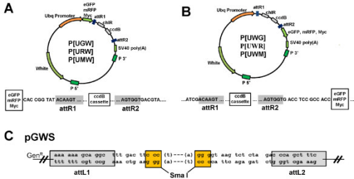 Structure of the pGWS and P-destination vectors. (A-B) The detailed structure of P-DEST vectors with N-terminal tags (A), and with C-terminal tags (B). The sequences and the reading frame from the epitope tags are shown below the map. The attR1 and attR2 sequences for Clonase II® recombination are shaded. (C) The structure and sequences of the pGWS. The circular pGWS has a unique SmaI site which is a restriction enzyme that can cut pGWS into a linear DNA with two blunted ends. The 3'-protruding ends after Taq T-tailing for TA cloning are shown in brackets. The reading frame after LR recombination with P-DEST vectors is indicated.