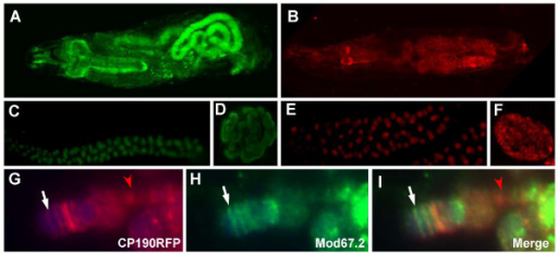 Expression of GFP- or mRFP-tagged CP190 in transgenic flies. (A-B) A third instar larva expressing eGFP-tagged CP190 (A), or mRFP-tagged CP190 (B). (C-D) Fluorescent signals of CP190eGFP in a salivary gland (C), and in the nucleus of a salivary gland cell (D). (E-F) Fluorescent signals of CP190mRFP in a salivary gland (E), and in the nucleus of a salivary gland cell (F). (G-I) The distribution of CP190mRFP (G) and Mod67.2 (H) proteins at the tip of X chromosome. The polytene chromosome was prepared from a y2 3rd instar larva. The white arrows point to the y locus where contains a copy of the gypsy insulator. The red arrow point to the location that contain only CP190 protein but do not contain Mod67.2 protein.