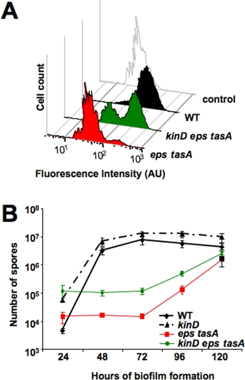 A kinD deletion restores sporulation to the eps tasA matrix mutant under biofilm-inducing conditions. (A) Flow cytometry of cells harboring the PsspB-yfp promoter fusion. Cells were grown on MSgg solid medium at 30°C for 72 h prior to harvesting and disruption of the biofilm for flow cytometry. The control is wild-type cells with no fluorescent protein. AU, arbitrary units. (B) Sporulation of wild type, eps tasA, kinD, and kinD eps tasA cells. Cells were grown on MSgg solid medium at 30°C for the indicated time prior to harvesting and counting of viable spores after heat treatment. Error bars represent standard errors of the means.