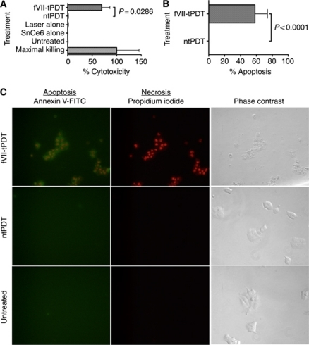 Factor VII-targeted photodynamic therapy (fVII-tPDT) induces significantly stronger levels of apoptosis and necrosis in MCF-7/MDR cancer cells compared with ntPDT. Necrosis (cytotoxicity) (A) and apoptosis (B) were detected in fVII-tPDT (2 μ SnCe6 and 36 J cm–2)-treated MCF-7/MDR cells. (C) Apoptosis and necrosis were visualised by immunofluorescence staining in fVII-tPDT (2 μ SnCe6 and 36 J cm–2)-treated MCF-7/MDR cells. Note that the fVII-tPDT-treated MCF-7/MDR cells were positively stained for necrosis (red in the nuclei) and apoptosis (green), whereas the ntPDT using unconjugated SnCe6 (2 μ, 36 J cm–2)-treated cells and the untreated control cells did not show any staining for apoptosis and necrosis. Note that the fVII-tPDT-treated MCF-7/MDR cells were clearly damaged, whereas the ntPDT-treated and untreated control cells were intact (phase contrast). Original magnification × 400.