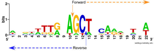 Sequence logo representation of sequence around the start sites of paired HFSs. Sequences were plotted with WebLogo [23]. Height of letter indicates degree of conservation. Nucleotide 11 is the start site of forward HFSs.