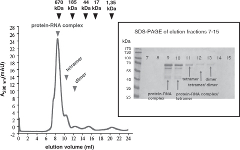 Gel filtration profile of affinity-purified pQE70-PMM1501 protein. Sizes of RNase E conformers were estimated using Bio-Rad's gel filtration standard (black arrows) containing thyroglobulin (670 kDa), γ-globulin (158 kDa), ovalbumin (44 kDa), myoglobin (17 kDa) and vitamin B12 (1.35 kDa). Elution peaks of RNase E conformers are indicated by black arrows. Peaks at elution fraction 15 and 21 correspond to buffer components. The inset on the right shows a 10% SDS–PAGE gel that was loaded with elution fractions of the gel filtration.