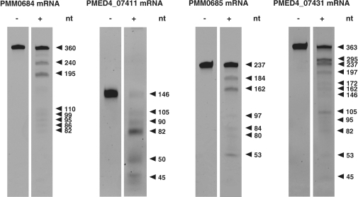 RNase E cleavage assay of four in vitro transcripts of genomic island II with (+) and without (−) recombinant Prochlorococcus RNase E. Cleavage fragments were separated on a 7 M urea–6% PAA gel and stained with ethidium bromide. Fragment sizes were estimated from an NEB ssRNA marker.
