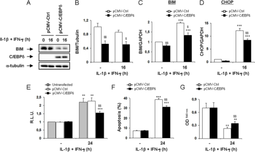 C/EBPδ overexpression decreases BIM expression and partially protect INS-1E cells against cytokine-induced apoptosis.INS-1E cells were left untransfected (grey bars) or transfected with pCMV-Ctrl (white bars) or pCMV-C/EBPδ (black bars) and subsequently left untreated or treated with IL-1β+IFN-γ for 16 or 24 h as indicated. (A) BIM, C/EBPδ and α-tubulin expressions were evaluated by Western blot. (B) Mean optical density measurements of BIM Western blots corrected for α-tubulin (representative figure in A). (C–D) BIM and CHOP mRNA expressions were assayed by RT-PCR and normalized for the housekeeping gene GAPDH. (E) Cells were co-tranfected with the vectors as decribed above and with a BIM promoter reporter+pRL-CMV and subsequently left untreated or exposed to cytokines as indicated. Results are mean Relative Luciferase Unit (R.L.U.) ± SEM; (F) Apoptosis was assessed by HO/PI staining; (G) Cell viability was evaluated using the neutral red-based toxicology kit. Results are mean ± SEM of 4–6 experiments; **: p<0.01 and ***: p<0.001 vs untreated untransfected or transfected with the same plasmid vector; §: p<0.05, §§: p<0.01 and §§§: p<0.001 vs pCMV-Ctrl treated with cytokines at the same time point; ANOVA followed by Student's t test with Bonferroni correction.