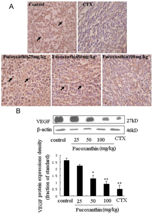 Expression of vascular endothelial growth factor (VEGF) protein in sarcoma tissue (A,B). (A) Sarcoma sections from different groups were immunohistochemically stained to assay the expressions of VEGF protein. The expression of VEGF-positive cells (black arrow) was obviously down-regulated by fucoxanthin (×200). Slides are representative of 15 animals per group; (B) Tissue homogenates from S180 sarcomas were prepared, and then the expression levels of VEGF protein in sarcoma were confirmed by western blotting. Western blotting analysis also revealed that the expression of VEGF was decreased by fucoxanthin at the dose of 50 and 100 mg/kg compared with the control group. Values are the mean ± SD. *p < 0.05, **p < 0.01 vs. control group.