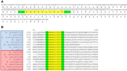 Globodera pallida flp-32 (Gp-flp-32) encodes a single peptide (AMRNALVRFG) and is expressed in at least 16 nematode species.Gp-flp-32 encodes one FMRFamide-like peptide, AMRNALVRFG (highlighted in yellow; A), flanked by dibasic cleavage sites (KK/KR; highlighted in green; A), and preceded by a predicted 28 amino acid N-terminal signal peptide (underlined; A). At least 16 nematode species from clades IV (species boxed in blue) and V (species boxed in red) express flp-32, encoding the single highly conserved AMRNA/SLVRFG FLP-32 peptide (highlighted in yellow; B), flanked by conserved dibasic cleavage sites (KK/KR; highlighted in green; B). B. xylophilis: Bursaphelenchus xylophilus; G. pallida: Globodera pallida; G. rostochiensis: Globodera rostochiensis; M. hapla: Meloidogyne hapla; M. incognita: Meloidogyne incognita; M. paranaensis: Meloidogyne paranaensis; R. similis: Radopholus similis; S. ratti: Strongyloides ratti; A. caninum: Ancylostoma caninum; A. cantonensis: Ancylostoma cantonensis; A. ceylanicum; Ancylostoma ceylanicum; C. elegans: Caenorhabditis elegans; H. polygyrus: Heligmosomoides polygyrus; N. americanus: Necator americanus; N. brasiliensis: Nippostrongylus brasiliensis; T. circumcincta: Teladorsagia circumcincta.