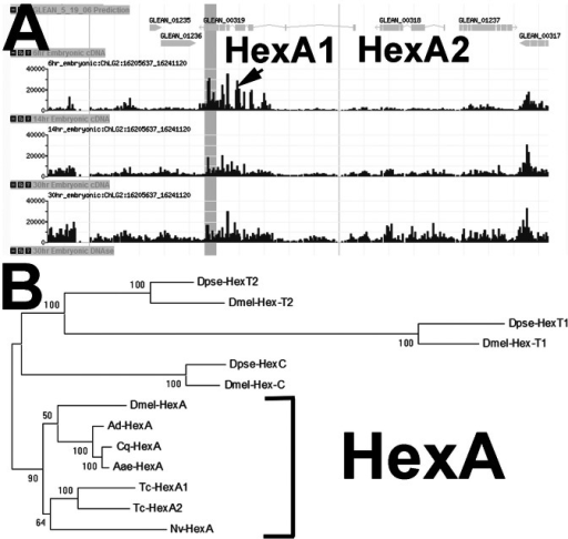 Hexokinase (Hex) locus structure in Tribolium and Hex gene evolution in insects.(A) Snapshot of the Beetlebase [42], [43] showing relative expression of Tc-HexA1 (Tc-Glean00319) and Tc-HexA2 (Tc-Glean00318) at 6 hours, 14 hours and 30 hours of embryonic cDNA libraries. Note that Tc-HexA1 is expressed at early stages while Tc-HexA2 seems to be upregulated only at later stages. (B) Phylogenetic analysis using maximum likelihood method. Amino acid substitution model: WAG+G. In Drosophillids four Hex genes exist (HexC, HexT1, HexT2 and HexA), while in most other insects only one Hex gene exists. Bootstrap values (1,000 replicates) are indicated as percentages. Aae - Aedes aegypti; Ad - Anopheles darling; Am - Apis mellifera; Cq - Culex quinquefasciatus; Dmel - Drosophila melanogaster; Dpse - Drosophila pseudoobscura; Nv - Nasonia vitripennis; Tc - Tribolium castaneum. Accession numbers for the NCBI are available upon request.