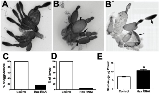 Tc-HexA RNAi affects oogenesis, glucose content, and reduces egg lay.(A,B) Ovary morphology in (A) control ovaries (injected with LacZ dsRNA) and (B,B') After Tc-HexA1 dsRNA injection. (B)Tc-HexA1 dsRNA ovarioles are less numerous and display many oocytes undergoing apparent degeneration (black arrows) when compared to the control ovaries. Mature oocytes can be eventually identified in Tc-HexA1 dsRNA ovaries (arrowhead). Nurse cells of the Tc-HexA1 dsRNA ovarioles also appear reduced when compared to the control, although the germarium in some ovarioles seem not to be affected like in B'. (B') Arrowheads highlights the germarium in Tc-HexA1 dsRNA ovaries, which appears similar to the control in some ovarioles. (C) Tc-HexA1 dsRNA injection largely reduces oviposition when compared to the WT. (D) Analysis of larvae hatching after Tc-HexA1 RNAi when compared to the control. Less than 10% of the laid eggs hatch, indicating an essential role of Tc-HexA1 during embryonic development. (E) Analysis of glucose content in ovaries injected with Tc-HexA1 dsRNA and the control (LacZ dsRNA). Asterisk indicates that the difference between the two groups is statistically significant (p<0,05).