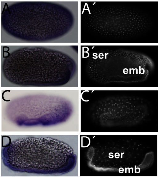 Tc-GSK-3 is expressed in the embryonic tissue throughout embryogenesis.(A–D) Tc-GSK-3 expression and respective nuclear DAPI stainings (A'–D'). (A,A') In the first four hours after egg laying (AEL), Tc-GSK-3 is ubiquitously expressed. Note the few nuclei at the periphery. In the next four hours (4–8 hours) a similar ubiquitous expression pattern is observed (data not shown). (B–B') Between 8–12 hours AEL Tc-GSK-3 expression is mainly concentrated at the embryonic cells (emb) and not in the extraembryonic polyploid serosal (ser) cells. (C–C') This pattern of strong expression of Tc-GSK-3 in the embryonic cells remains between 12–16 hours AEL, when serosal cells surround the embryonic ones. (D–D') Between 16–20 hours AEL Tc-GSK-3 expression is still largely confined to the embryo (emb), which is undergoing germ band elongation. At 20–24 hours AEL a similar expression profile is observed (data not shown).