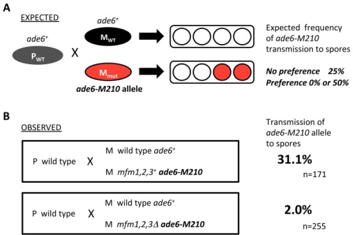 P-cells preferentially mate with wild-type M-cells.(A) Experimental design. Wild-type P-cells (PWT) were mixed with an equal number of wild-type M-cells (MWT) and M-factor-less M-cells (Mmut), marked by the ade6-M210 auxotrophic marker, in nitrogen-free medium. If the P-cell chose an ade6+ M-cell, the descendant spore clones would have no ade6-M210 allele. If the P-cell chose an ade6-M210 M-cell, the allele would be transmitted to half of the descendant spore clones. Thus, the preference of P-cells for type of mating partner could be determined by the frequency of ade6-M210 segregants. (B) Experimental results. The following strains were used: L972 (h– prototrophic), L975 (h+ prototrophic), FS120 (h–mfm1,2,3Δ ade6-M210), and FS121 (h–mfm1,2,3+ade6-M210). The mixed cells were allowed to mate, and resulting hybrid diploids were sporulated. Spores were isolated by micromanipulation and grown on nutrient medium with adenine sulfate limitation.