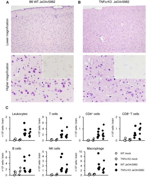 Neuronal degeneration and inflammation in the brains of TNF-α KO mice infected with JaOArS982.(A and B) Histopathological features of WT (A) and TNF-α KO (B) mice infected with 104 pfu of JaOArS982 at 10 days pi. JEV antigens were detected using E-protein specific JEV antibody (insets). Each experiment represents six and five mice of WT and TNF-α KO, respectively. Inflammatory reactions and neuronal degeneration were seen in the WT mice. The TNFa KO mice showed acute necrotic changes in the brain cortex. (C) Number of infiltrating leukocytes, T cells (CD3+), CD4+ T cells, CD8+ T cells, B cells (CD19+), NK cells (NK1.1+) and macrophages including microglia (F4/80+) in brains of WT (mock: n=5, Day 10: n=6) and TNF-α KO (mock: n=5, Day 10: n=7). p: Mann Whitney test.
