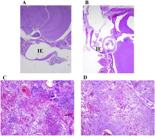Pathology of mice challenged with Y. pestis by small particle aerosol.A and B) HE stained skull sections of aerosol challenged mice. A) Mouse (2×) challenged with wild-type CO92 (6.9×105 CFU) that was moribund and euthanized on day 3 postchallenge. B) Mouse (4×) challenged with ΔtatA mutant (3.3×106 CFU) that was moribund and euthanized on day 7 postchallenge. No inner ear (IE) or meningeal involvement was detected for mice aerosol challenged with either strain of Y. pestis. HE stained lung sections (10×) of mice aerosol challenged with CO92 (C) or ΔtatA mutant (D). There was no difference in lesion character or severity in mice challenged with either strain.