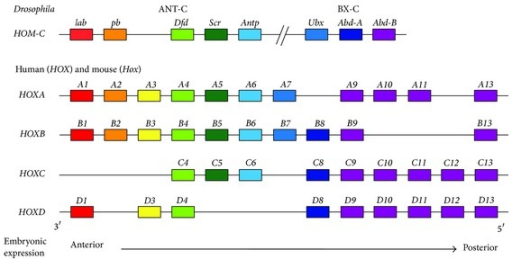 Arrangement of Hox genes in the Drosophila and mammalian genomes. In Drosophila, eight Hox genes clustered on a single chromosome, the homeotic complex (HOM-C), are divided into two groups: the Antennapedia complex (ANT-C) and Bithorax complex (BX-C). ANT-C comprises five Hox genes: labial (lab), proboscipedia (pb), Deformed (Dfd), Sex combs reduced (Scr), and Antennapedia (Antp). The BX-C consists of three Hox genes: Ultrabithorax (Ubx), Abdominal-A (Abd-A), and Abdominal-B (Abd-B). In mammals, 39 Hox genes are divided into four separate clusters (HoxA, HoxB, HoxC, and HoxD) on four different chromosomes. In each cluster, Hox genes are tandem arranged in sequence from 3′ to 5′. Hox genes with the same number are referred to as paralogs. In the embryo, expression of the 3′ paralogs occurs earlier and more anteriorly along the anterior-posterior axis, whereas the 5′ paralogs are expressed later and more posteriorly.