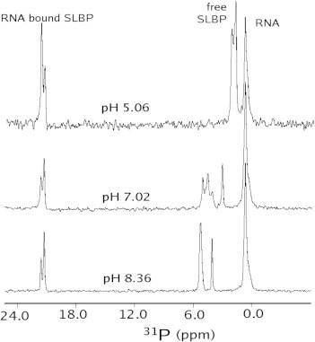 31P NMR spectra of the SLBP RBD–RNA complex collected at 25 °C at a spectrometer frequency of 202 MHz and at different pH values as indicated. A detailed pH titration is shown in Supplementary materials (Fig. S2).