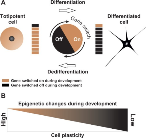 Changes in cellular plasticity. (A) Gene silencing and activation during differentiation and dedifferentiation. In a totipotent cell, such as the fertilized egg, genes responsible for segmentation and formation of pluripotent embryonic cells are switched on. Throughout differentiation, early genes are switched off, while genes needed for differentiated cell functions are switched on and others are switched off or repressed. Repressed genes can be activated reprogramming somatic cells, eg, neuron to totipotent or pluripotent states. (B) Epigenetic modifications or cell plasticity enables stem cells to differentiate into various cell types or differentiated cells to trans-differentiate to each other. During differentiation, cell plasticity is decreased. Differentiated cells have low plasticity; however, high plasticity can be increased by adding extrinsic factors that affect epigenetic processes, even in completely differentiated cells.