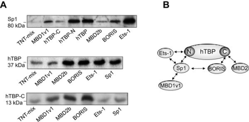 "BORIS and Sp1 interact with the TATA binding protein(hTBP). The methionine labeled ""prey"" fusion proteins Sp1, hTBP and the carboxyl terminus of hTBP (hTBP-C) were incubated with various resin-bound ""bait"" proteins as indicated below the polyacrylamide gels. The protein complexes were collected by precipitation and separated by gel electrophoresis. The weak band in the TNT-mix (negative control) is unspecific and serves as a background level (A). Schematic view of the detected protein-protein interactions. N, amino terminus; C, carboxyl terminus (B)."