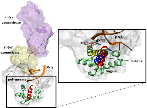The structure of DNA polymerase I (PDB code 1TAU) bound to DNA (orange ribbons) is shown on the left depicting the 5′→3′ exonuclease (purple surface), 3′→5′ exonuclease (yellow surface), and polymerase (white surface) domains (left).The inset on the right shows a close-up of the mobile fingers subdomain (light green) of Bacillus stearothermophilus DNA polymerase I, with the open (red), ajar (blue), and closed (yellow) conformations of the O-helix shown in relation to the dNTP substrate (sticks) and Mg2+ ion (pink).