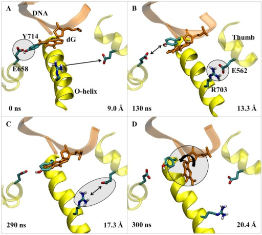 The proposed opening mechanism for the fingers domain for DNA polymerase I.The secondary structure of the relevant polymerase residues including the O-helix are shown in yellow ribbons, while the DNA is shown in orange. The key event in each image is circled. A) The X-ray crystal structure of PDB 1LV5. B). The intermediate state showing the breaking of the Tyr714-Glu658 hydrogen bond, and the formation of the salt bridge between Arg703 and Glu562. C) Depiction of the breaking of the Arg703-Glu562 salt bridge, which is quickly followed by D) the rotation of the N-β-glycosyl bond of the template nucleotide allowing Tyr714 to replace the base in the active site, and resulting in the fully open conformation of DNA polymerase I. Simulation times and O-helix distances correspond to the 1LV5 simulation performed using Desmond and the Charmm27 force field.