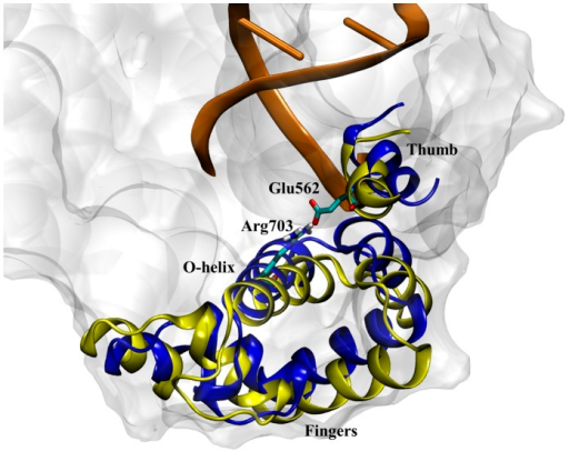 An overlay of the DNA polymerase fingers subdomain for the 3HP6 crystal structure (blue ribbons) and the observed 1LV5 intermediate state (yellow ribbons) characterized by the Arg703-Glu562 salt bridge.Although the end of the O-helix for both structures is near the same location, the α-helices in the fingers domain are clearly different resulting in the 4.3 Å RMSD between the 1LV5 intermediate and the 3HP6 crystal structure.