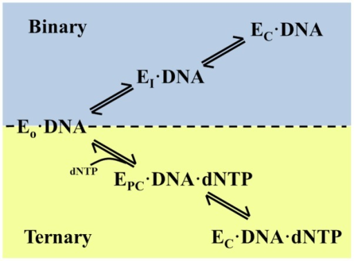 "The proposed pathway for opening and closing of DNA polymerase I in the presence and absence of dNTP.In the binary complex (blue), the polymerase transitions through the intermediate observed in this study (EI•DNA), while the ternary complex (yellow) transition is a separate, partially-closed conformation (EPC•DNA•dNTP) on its way to the closed conformation. This pathway depicts the enzyme in two different ""ajar"" conformation (EI or EPC) determined by the presence or absence of dNTP in the active site."