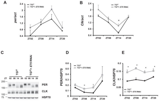 Effects of E75 knockdown on the expression of per and Clk in adult heads(A)per mRNA expression in TG27 controls and TG27 >UAS-E75 RNAi (GD) flies at the indicated time points of an LD cycle. (B)Clk mRNA expression in TG27 controls and TG27 >UAS-E75 RNAi (GD) flies under LD cycle. (C) PER and CLK levels in the same genotypes as above. A representative western blot is shown. HSP70 antibodies are used to control for loading. Quantification of six independent experiments shows (D) PER and (E) CLK levels in TG27 >UAS-E75 RNAi (GD) flies and TG27 control flies. Asterisks above the bars denote significant differences between genotypes. (*) P < 0.05 using unpaired Student's t-test. Error bars depict SEM. A molecular marker (Precision Plus Protein™ Dual Color Standards) was run to detect the exact molecular size of different proteins.