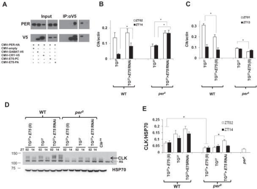 PER interacts with E75 to de-repress expression of the Clk promoter(A) Co-immunoprecipitation assay showed that PER physically interacts with E75. 100 ng of CMV-per HA was transfected with 200 ng of CMV-E75 V5 (with two different isoforms RC and RA), CMV-cry V5, CMV-GABA-Transaminase (GABAT) V5 and empty CMV vector. Anti-V5 antibody was used to pull down protein complexes. PER specifically binds with CRY but not with GABA-T, PER also binds strongly with E75-RC. The RA isoform was poorly expressed, hence weaker interaction with PER (lane 5 in IP: αV5). (B) Knockdown of E75 increases Clk mRNA expression in wild type and per0 flies. As in Figure 2, E75 knock down by TG27 significantly increases Clk mRNA levels in wild type flies relative to TG27 controls at ZT14. This effect is more striking in per0 flies where baseline Clk mRNA levels are quite low. (C) Overexpression of E75 reduces Clk mRNA expression in wild type and per0 flies. As in Figure 1, E75 overexpression by TG27 significantly decreases Clk mRNA levels in wild type and per0 flies relative to TG27 controls at ZT02. (D) CLK levels in TG27 control, TG27 >UAS-E75 RNAi (GD) and TG27 > UAS-E75 (II) in wild type and per0 backgrounds are shown for two time points. HSP70 antibodies are used to control for loading. Molecular marker (Precision Plus Protein™ Dual Color Standards) were run to facilitate detection of different proteins. (D) Quantification of four independent western blots is shown. Asterisks above the bars denote significant differences between genotypes. (*) P < 0.05 using unpaired Student's t-test. Error bars depict SEM and indicate variability across flies of a specific genotype.