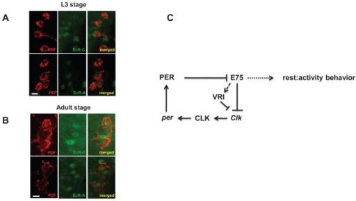 Incorporating EcR and E75 in the molecular clockEcR is expressed in clock cells of larval (A) and adult brains (B). EcR is detected with two different mouse anti-EcR antibodies (EcR-A and EcR-C) and PDF is stained with a rabbit anti-PDF antibody. EcR-C antibody detects all isoforms of EcR (A, B1 and B2), whereas EcR-A detects the RA specific isoform of EcR. Scale bar = 10μm. (C) Model for the role of E75 in the Drosophila molecular clock. E75 represses Clk transcription, and this repression is inhibited by PER, which thus acts as a de-repressor of Clk. PER can also modulate Clk expression through VRI (as VRI is a transcriptional target of CLK, which is regulated by PER), but this is not shown here for the sake of simplicity. In addition, E75 also regulates VRI expression in such a way that overexpression or knockdown of E75 increases or reduces the VRI levels respectively, thus indirectly affecting the CLK expression. Under stress (nutritional and temperature) conditions, E75 is required to maintain robust rhythms.