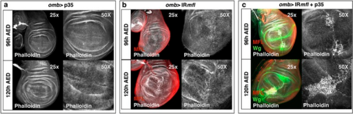 Epithelial remodeling and formation of p35-induced undead cells in the omb silenced domain. Confocal analysis of wing discs at 96 and 120 h AED upon phalloidin staining. (a) An omb>p35 control disc. Phalloidin is in gray. (b) An omb>IRmfl silenced disc (no. 36595 line) exhibiting a strong tissue disorganization. Phalloidin is in gray and Mfl in red. (c) Expression of p35 in the silenced discs causes formation of big patches of large undead cells that secret high level of Wg (in green) and cluster along the A/P border