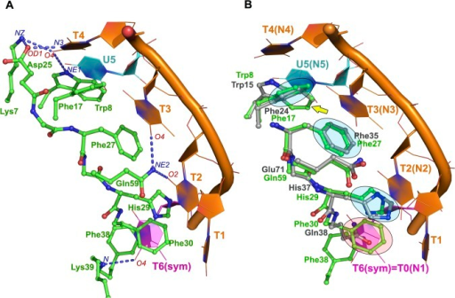Superposition between the bacterial CSP and the CSDYB-1 nucleic acid-binding domains.A. Key interactions between the bacterial CSP (green) and an oligo(dT) (orange) obtained from the CSP:oligo(dT) crystal structure.[22] The intermolecular H-bond formed between the protein and the ssDNA are shown as blue dotted lines. B. Superposition of the CSDYB-1 (gray) with the CSP:dT6 complex (green and orange, respectively). The side chains of amino acids involved in stacking with nucleotide bases are highlighted in blue. These three binding sites, that are structurally equivalent between the bacterial CSP and the CSDYB-1 are labelled N1, N2 and N3. The nucleotide shown in magenta represents the symmetrically related molecule of the complex and shows the additional nucleotide binding site formed by Phe30 and Phe38 (binding site 1, N1), which is only present in the bacterial CSP.